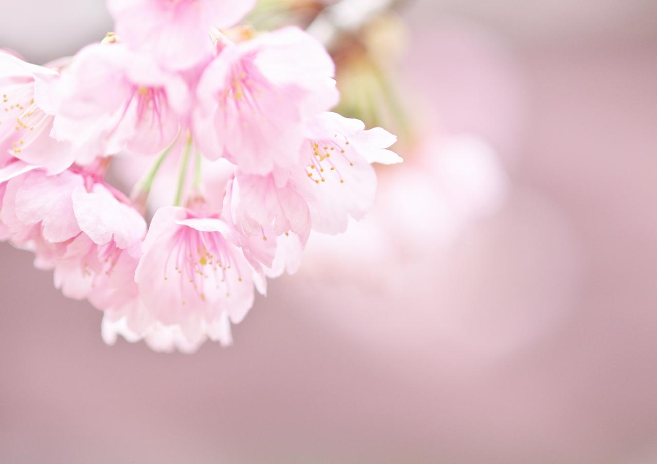 寒桜_f0018464_8432465.jpg