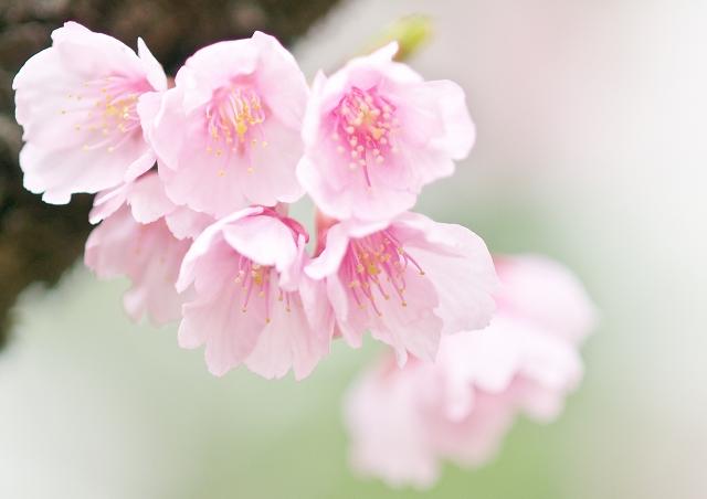 寒桜_f0018464_8435650.jpg