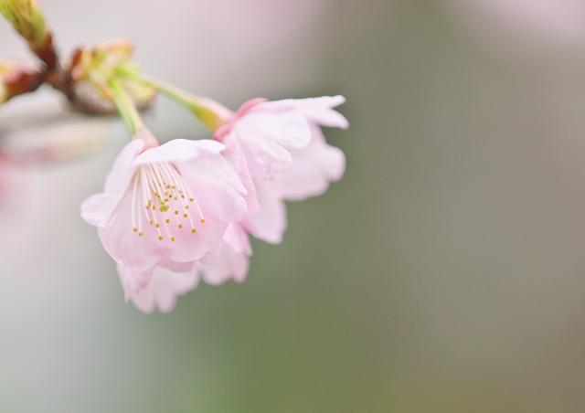 寒桜_f0018464_844598.jpg