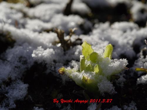 冠雪の蕗の薹_c0180686_18212351.jpg