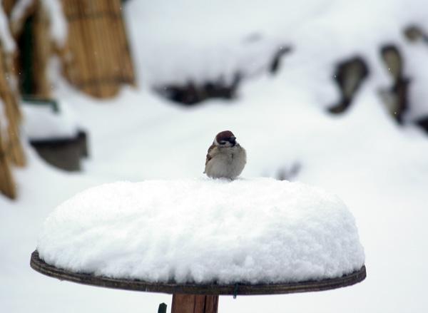 春の雪  餌台と福寿草など_a0136293_1617135.jpg