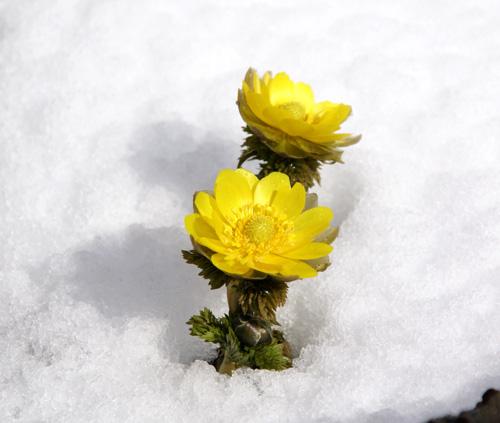 春の雪  餌台と福寿草など_a0136293_16195089.jpg