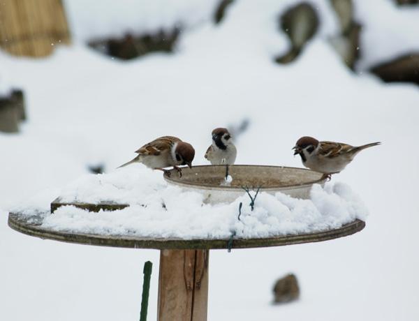 春の雪  餌台と福寿草など_a0136293_16341927.jpg