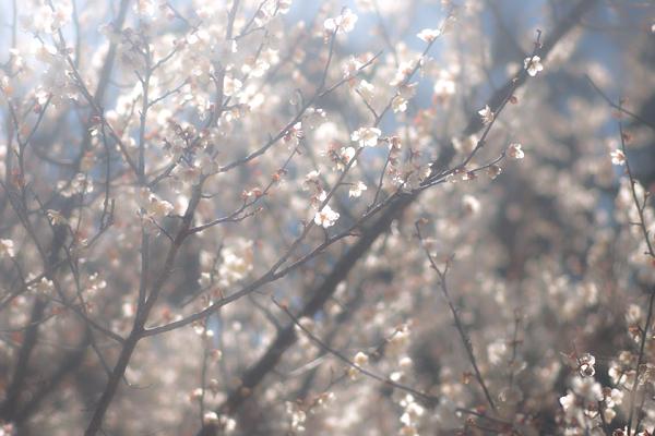 梅の花と花粉症_d0127209_1544376.jpg
