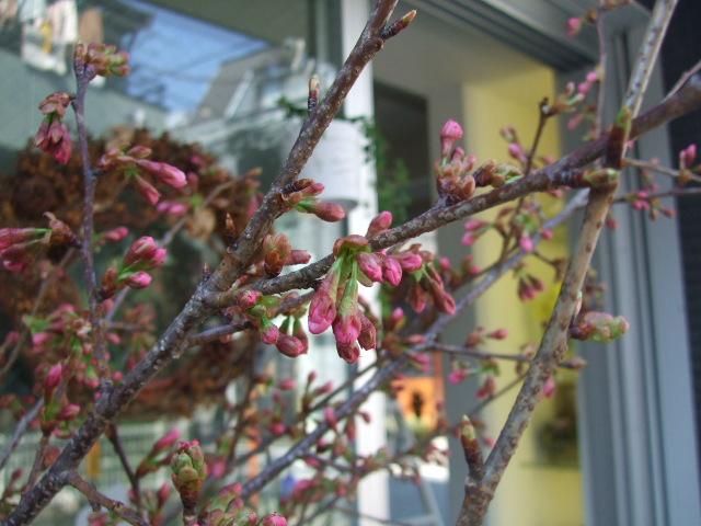 オークリーフ(桜の開花宣言)_f0049672_17534329.jpg