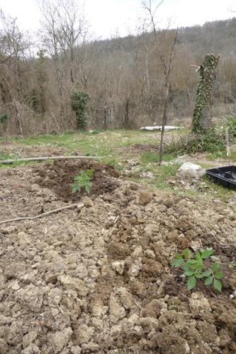 今年の早採り用トマト作戦~3月の畑_f0106597_56135.jpg
