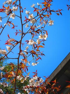 桜_d0169411_21353987.jpg