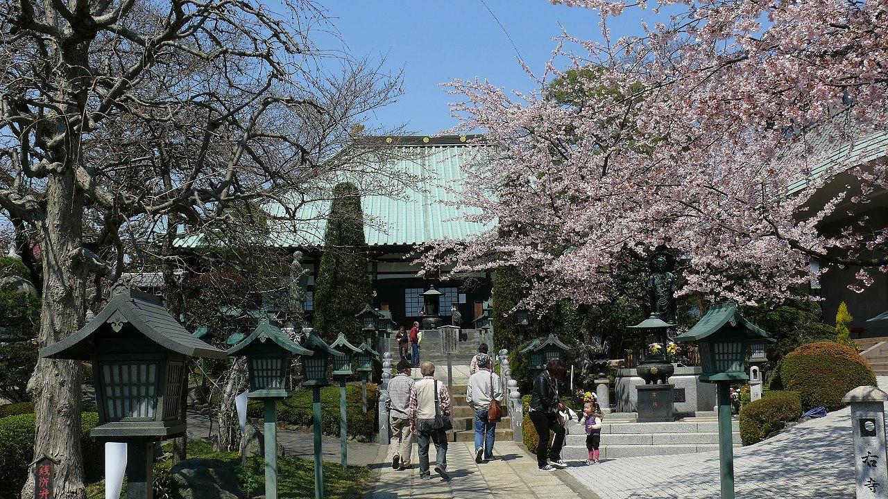 【 日記 3/29 】 満開!安行桜_a0185081_18224734.jpg