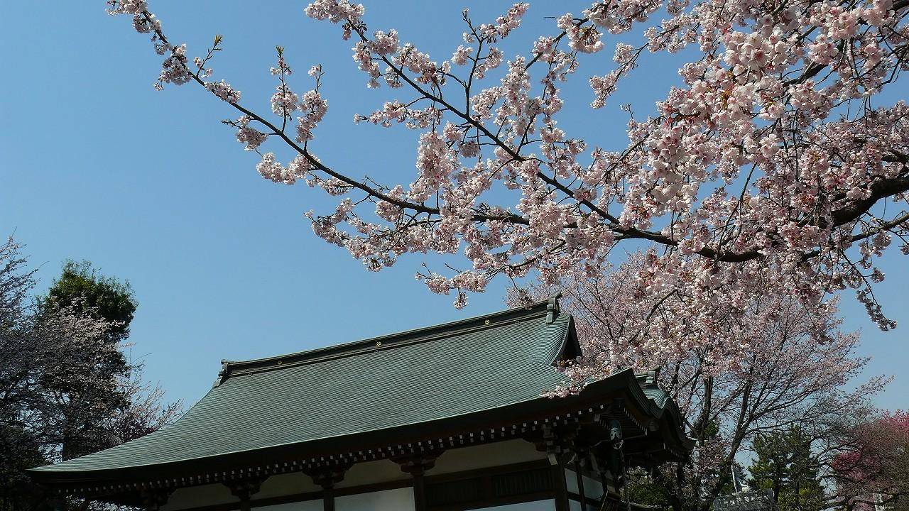 【 日記 3/29 】 満開!安行桜_a0185081_1824304.jpg