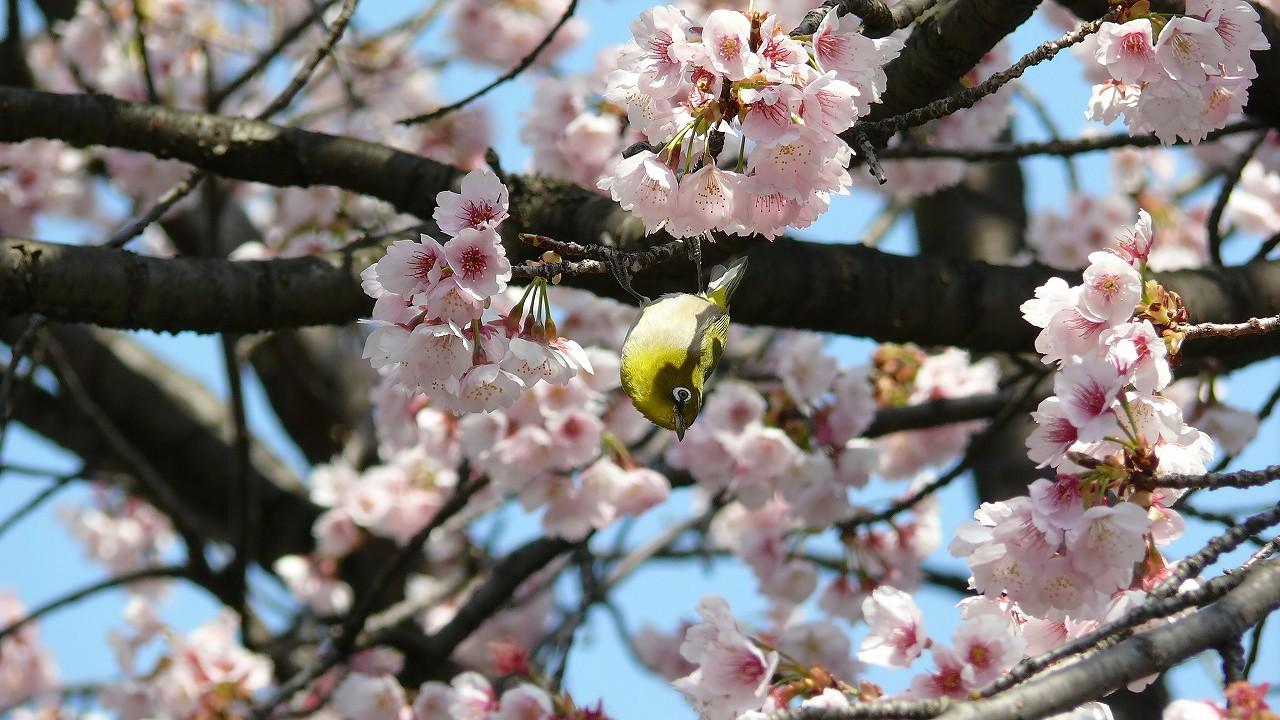 【 日記 3/29 】 満開!安行桜_a0185081_18245481.jpg