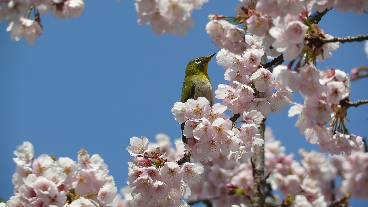 【 日記 3/29 】 満開!安行桜_a0185081_18254168.jpg