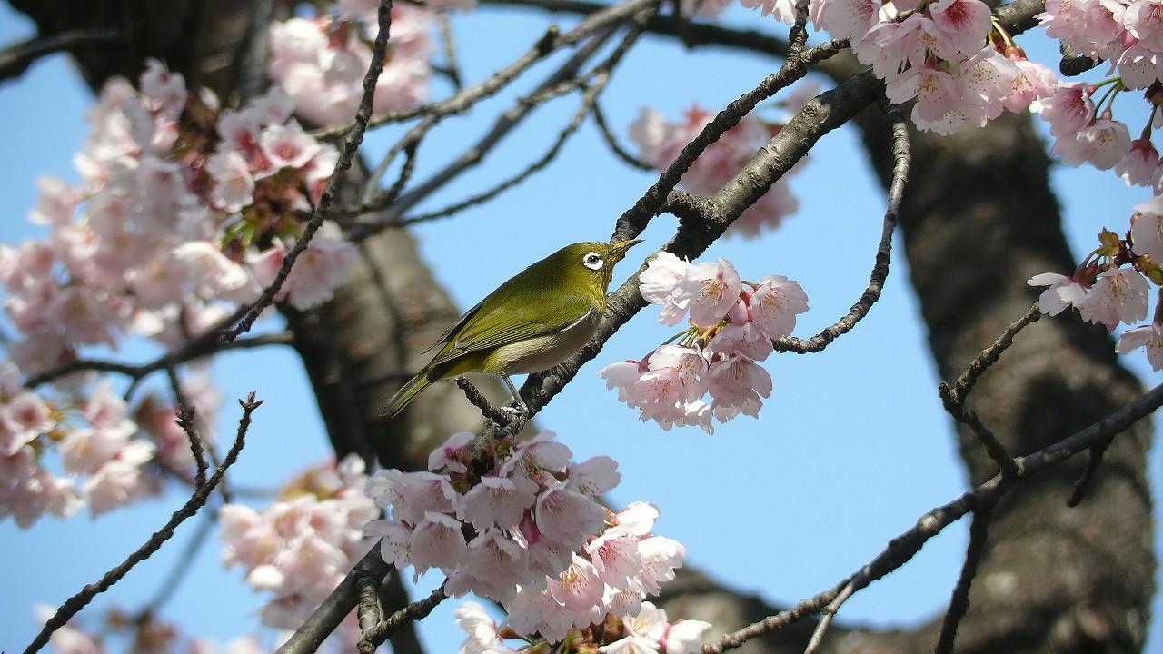 【 日記 3/29 】 満開!安行桜_a0185081_18261368.jpg