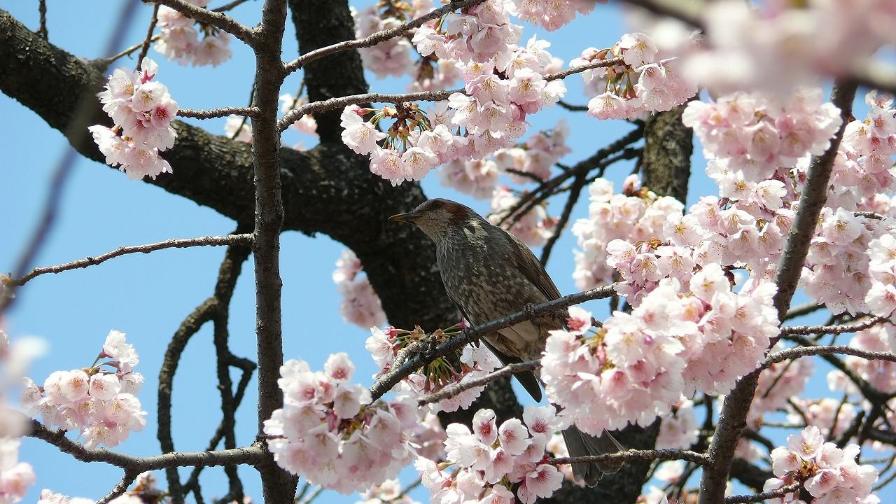 【 日記 3/29 】 満開!安行桜_a0185081_18264596.jpg