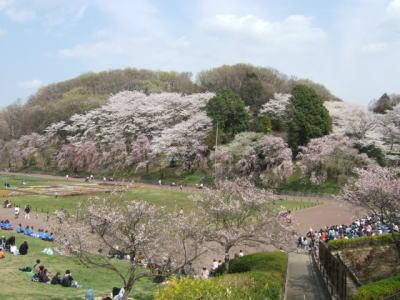 桜の開花♪_e0190287_22103095.jpg
