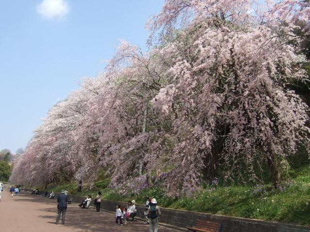 桜の開花♪_e0190287_22111896.jpg