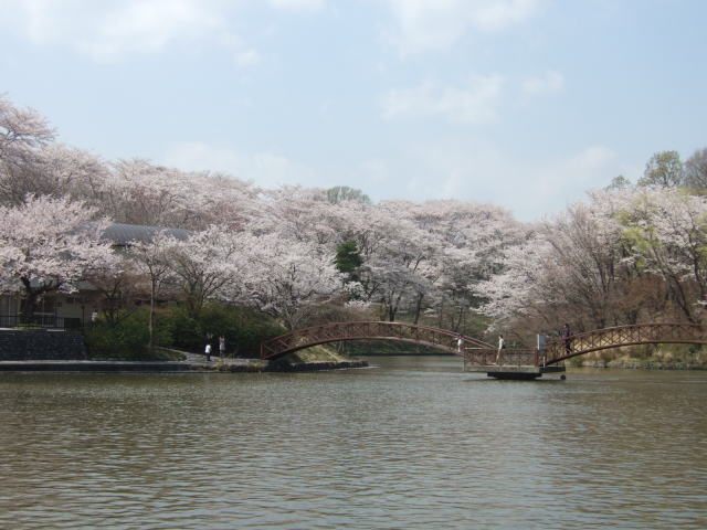 桜の開花♪_e0190287_22192654.jpg