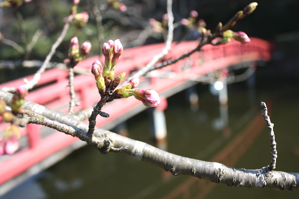 咲きはじめた茂原公園のさくら_b0114798_21422358.jpg