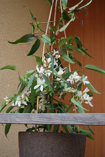アーマンディを切花に…その1_c0124100_23141547.jpg