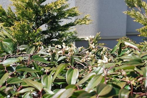 アーマンディを切花に…その1_c0124100_23232547.jpg