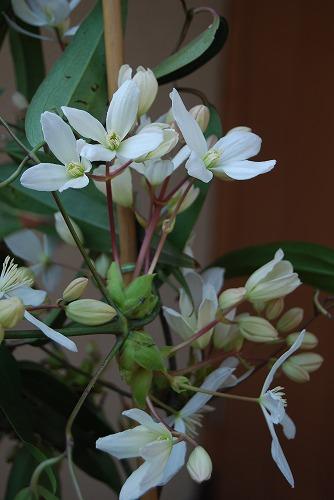 アーマンディを切花に…その1_c0124100_2324731.jpg
