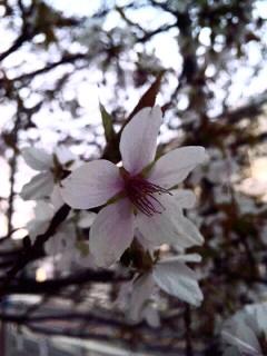 さくら咲け_a0103940_542328.jpg