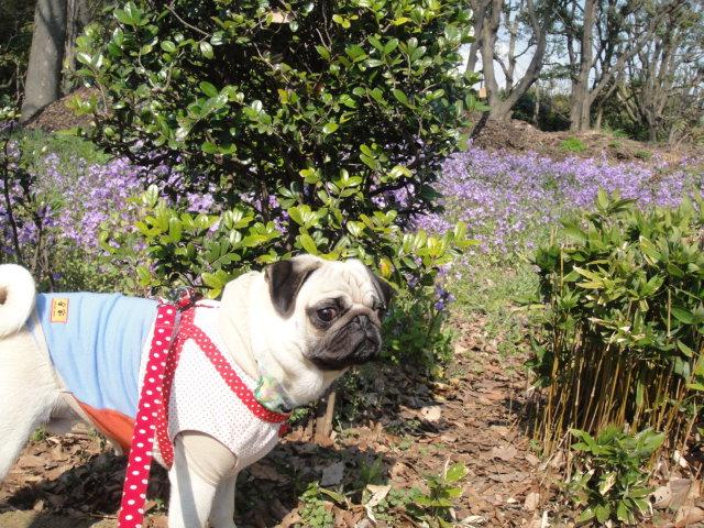 メタボ解消お散歩・・・桜の花が咲いてたよ♪_b0190666_17514234.jpg
