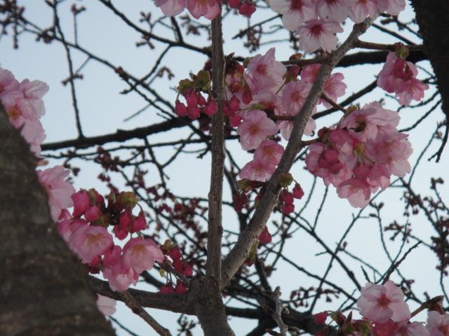 メタボ解消お散歩・・・桜の花が咲いてたよ♪_b0190666_18121445.jpg