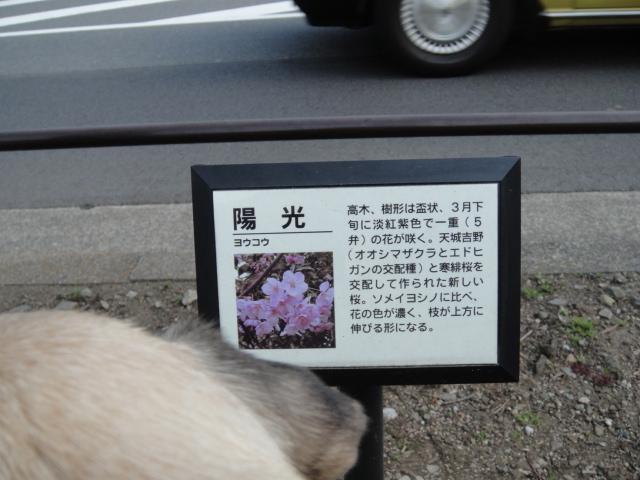 メタボ解消お散歩・・・桜の花が咲いてたよ♪_b0190666_18152224.jpg