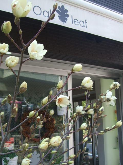 オークリーフ(白木蓮と黒いカラーの花)_f0049672_14304033.jpg