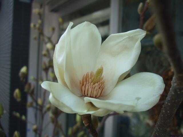 オークリーフ(白木蓮と黒いカラーの花)_f0049672_14305752.jpg