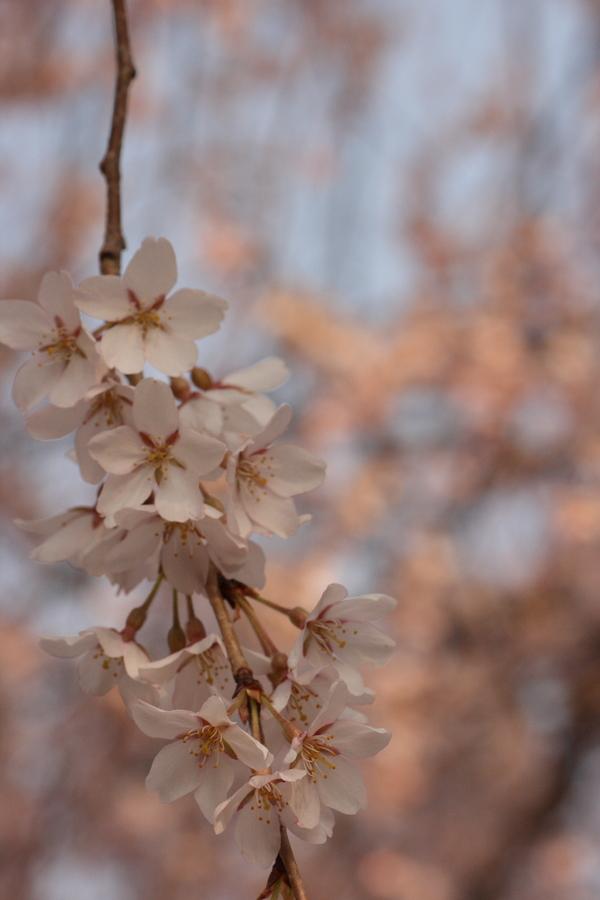 桜_e0231387_17421393.jpg
