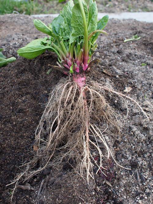 今年こそは有機栽培でいかが?_b0201492_187265.jpg