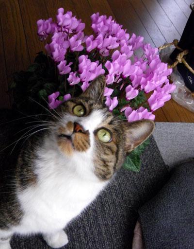 今年も花いっぱい。ミニシクラメンとHuuちゃん(^^)v_a0136293_1858461.jpg