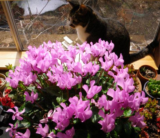 今年も花いっぱい。ミニシクラメンとHuuちゃん(^^)v_a0136293_1859236.jpg