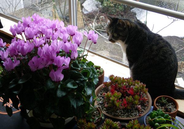 今年も花いっぱい。ミニシクラメンとHuuちゃん(^^)v_a0136293_18594352.jpg