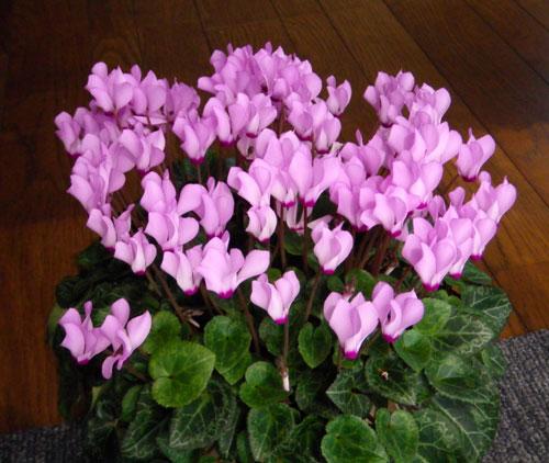 今年も花いっぱい。ミニシクラメンとHuuちゃん(^^)v_a0136293_1859467.jpg