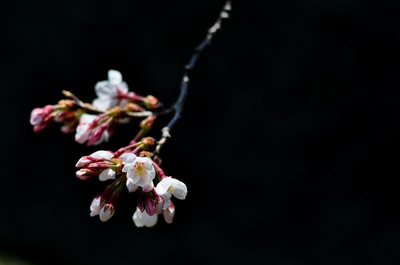 桜の開花_e0053660_18393643.jpg