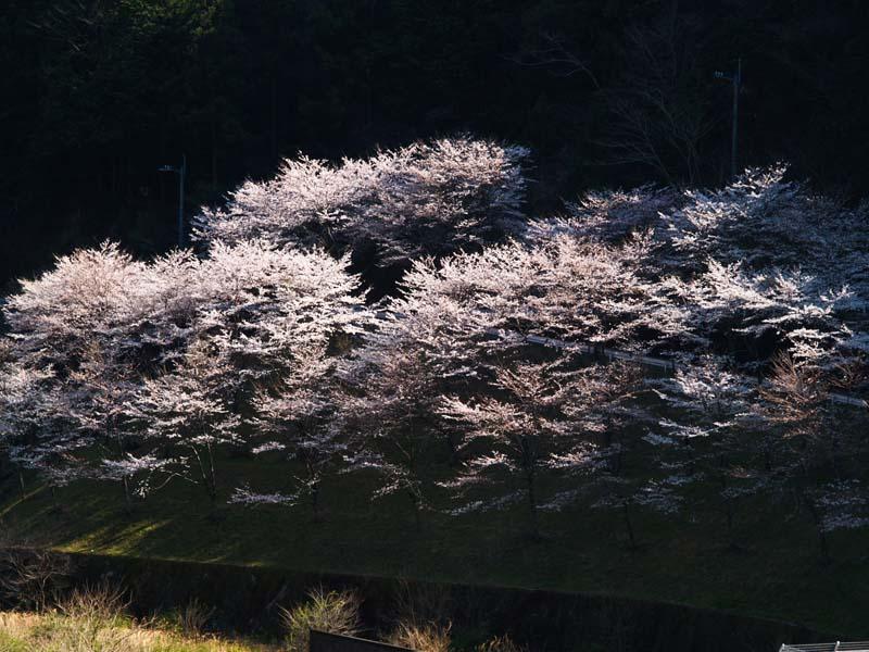 桜、週末は引っ越し_d0127876_21342356.jpg