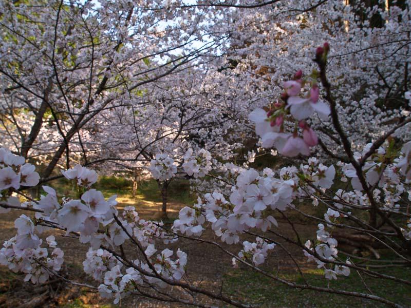 桜、週末は引っ越し_d0127876_21343092.jpg