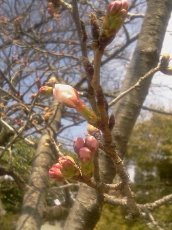 桜開花_b0164894_10342766.jpg