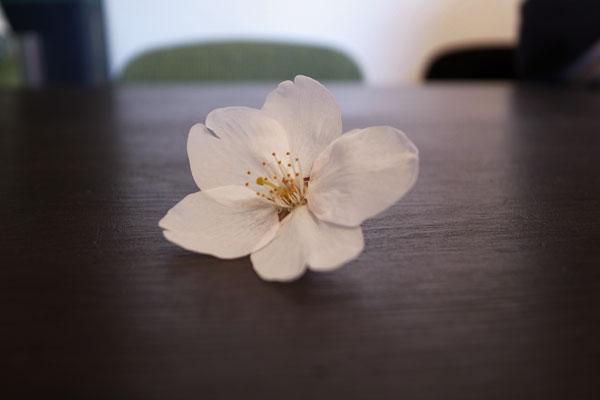 Cherry blossoms_e0131432_155594.jpg