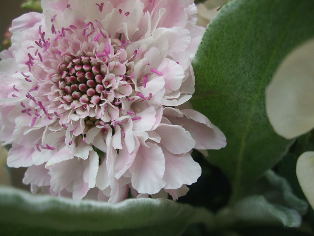 オークリーフ(シュナーベルと微妙なピンク色の花たち)_f0049672_17165988.jpg