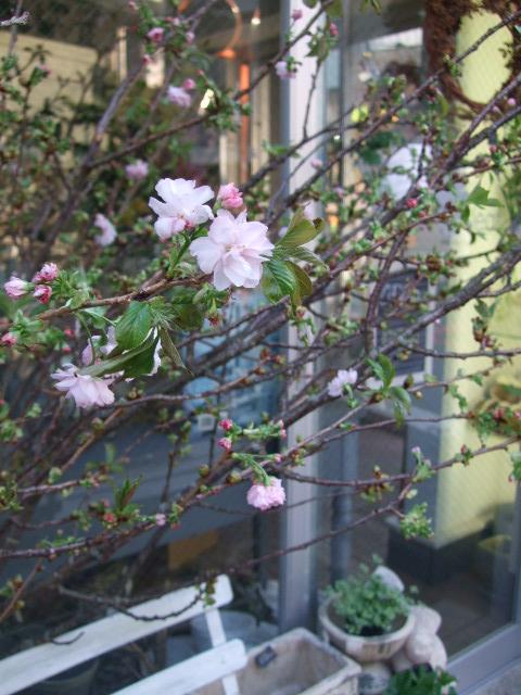 オークリーフ(淡いピンクのシデコブシのある風景)_f0049672_1801458.jpg