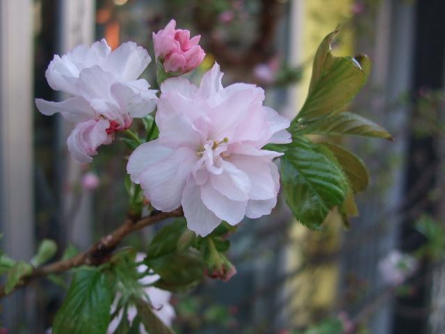オークリーフ(淡いピンクのシデコブシのある風景)_f0049672_1803248.jpg