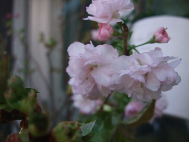オークリーフ(淡いピンクのシデコブシのある風景)_f0049672_1804639.jpg