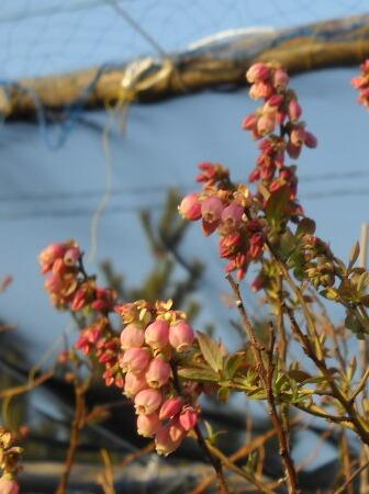 サンシャインブルーの花(接ぎ木)_f0018078_19154279.jpg