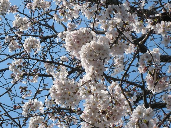 自慢の桜_e0221583_14424770.jpg