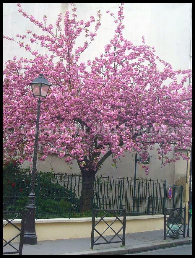 【サクラ】4月1日RUE DE SEINE PARIS_a0008105_19575296.jpg