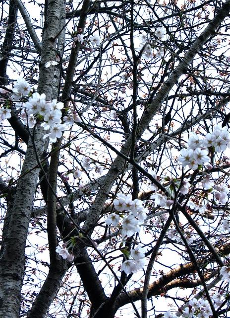 桜の木の下で  涙…。_f0170519_17411743.jpg
