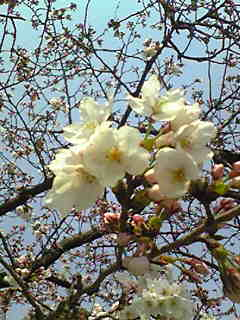 4月、さくら_e0103327_1349071.jpg